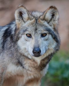 Gray Wolf, Wolf Black, Black Wolves, Wolf Photos, Wolf Pictures, Cute Baby Animals, Animals And Pets, Wild Animals, Wildlife Photography