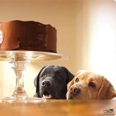 labs admiring a cake...maybe a little too much!