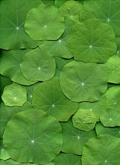 Cultivars and hybrids sold under the name of Tropaeolum majus are generally referred to as common nasturtiums or garden nasturtiums.