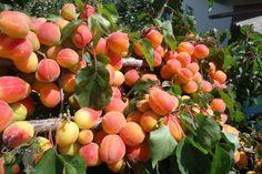 Сорта абрикоса – описание, характеристика, фото, отзывы. Какие лучше посадить на Урале и в Сибири, Лен области, Подмосковье, средней полосе…