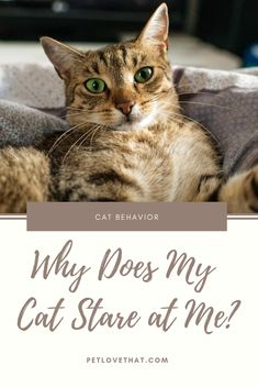 Cats also stare at other cats too. Are they in a contest to prove who the best cat is? Big Cats, Cool Cats, Cats And Kittens, Cat Behavior, All About Cats, Cat Sitting, Kids Boxing, Dog Accessories, Cat Lovers