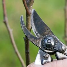 GardenLine Newsletter - prune Lemon Trees yearly b/w March and August; remove suckers with a vertical cut (branches below the graft); keep tree height to 8 ft to make fruit picking easier; note: do not prune Fig Trees. Pruning Shrubs, Pruning Fruit Trees, Tree Pruning, Fruit Bushes, Citrus Trees, Pear Trees, Fig Tree, Orange Trees, Gardens