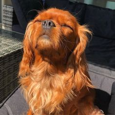 Find Out More On Smart Cavalier King Charles Spaniel Health Cavalier King Charles Dog, King Charles Spaniel, Cavalier King Spaniel, Cockerspaniel, Spaniel Puppies, Cute Dogs And Puppies, Doggies, Beautiful Dogs, Cute Baby Animals