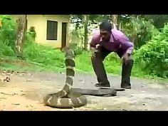l'attacco in diretta di un cobra reale