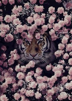 The Tiger. Cute Wallpaper Backgrounds, Animal Wallpaper, Cute Wallpapers, Most Beautiful Animals, Beautiful Creatures, Nature Animals, Animals And Pets, Wild Animals, Jolie Photo