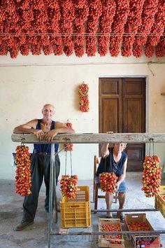 Farmer Ponsiello Giovanni and his wife Maria Aprea preparing pomodorino piennolo del Vesuvio for the winter season in their home