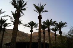 Datileras en Ein Guedi Celestial, Sunset, Plants, Outdoor, Gold, Outdoors, Sunsets, Plant, Outdoor Games