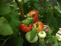 Tomatoes Gardening For Beginners Vegetable Gardening for Beginners: Advice on plot size, which vegetables to grow, and other vegetable garden planning tips from The Old Farmer's Almanac. Vegetable Garden Planner, Vegetable Garden For Beginners, Gardening For Beginners, Vegetable Gardening, Veggie Gardens, Flower Gardening, Tips For Growing Tomatoes, Growing Tomatoes In Containers, Growing Vegetables