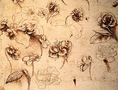 Da Vinci botanical sketches