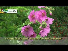 Lavatera (een eigen Nederlandse naam is er niet) kent eenjarige soorten en vaste planten, waarvan sommige struikachtig uitgroeien tot wel 150 of 175 cm hoog. Ze bloeien overdadig in de periode juni-september met roze, rode, lila, witte enz. bloemen. Snoei de hybridecultivars ieder jaar in april diep terug, dan herhaalt het kleurenfeest zich daarna in alle hevigheid! http://www.colour-your-life.nl/