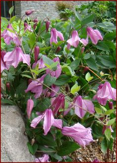 Clematis Alionushka : Brushwood Nursery, Vines and Climbers For Your Garden, non vining clematis grows in sun, part shade, shade.