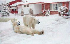 Y siguiendo con los osos polares, esta tierna imagen se creó cambiando el fondo de la Bahía de Hudson en Canadá por una casa.