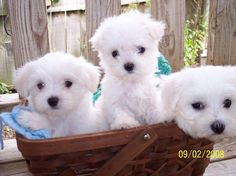Adorable maltese Puppies For Adoption we have nice baby face maltese Pups For Adoption they are 12 weeks old,maltese pups to give it out for adoption .Our cute maltese pups is ready to go out to a goo Maltese Dog For Sale, Maltipoo Puppies For Sale, Dogs For Sale, Maltese Dogs, Teacup Maltese, Little Puppies, Baby Puppies, Baby Dogs, Cute Puppies