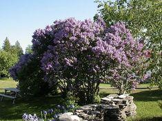 庭木、シンボルツリーのライラック、リラです。