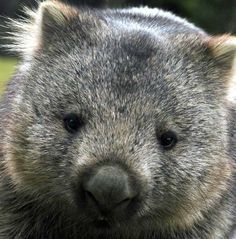 Image detail for -Wombat commun. By Timmy Toucan