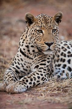 beautiful-wildlife: Namibian Leopard