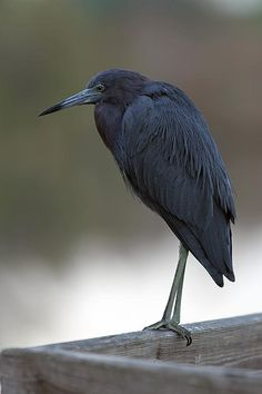 Blue Heron from Florida. www.RothGalleries.com
