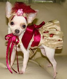 I need to figure out how to make this for Kiyahu0027s Halloween costume this year! & 192 best Chihuahuas in Costumes images on Pinterest | Chihuahua ...