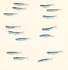 "Engraulis japonicus / Japanese anchovy / ""Katakuchiiwashi"" (カタクチイワシ Engraulis japonicus : uonofu 魚の譜から)"