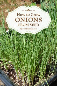 How to Grow Onions from Seed   Grow a Good Life   Onions can be planted from transplants, sets, or started from seed inside under grow lights. Growing onions from seed opens up a wide diversity of shapes, flavors, sizes, and colors to grow.