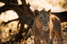 Vanishing King of the Namib desert - This is one of the five musketeers, Five maie desert adopted Lions in the Namib desert. This shot is taken in March 2016. In the meantime one of these five brothers was killed in June 2016 in a human wildlife conflict. The four remaining brothers are striving since a couple of days through the area where they have seen their brother for the last time. As the carcase of the lion was burned they do not understand why the brother doesn´t respond to their roa...