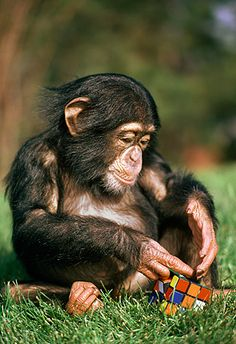 cube rubik chimpanzee - Buscar con Google