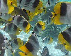 Polinesia Francese - Pesci tropicali nel Giardino dei Coralli - pic di elejova