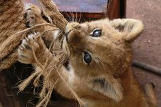 ANIMALS IN THE NEWS: MARCH 2015 Ѡ Curious ♥ A one-month-old lion cub tugs on a rope at African Safari zoo park in Puebla, Mexico. © STRINGER/MEXICO/Newscom/Reuters