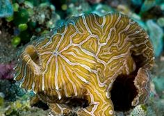 Psychedelic frogfish (Histiophryne psychedelica)