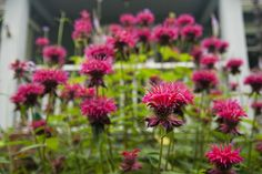 Monarda 'Raspberry Wine' - Summer 2011