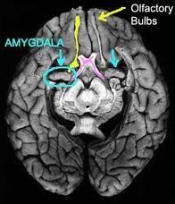 Click Your Amygdala Forward - Light Minded People Behavioral Neuroscience, Tuberous Sclerosis, Mental Retardation, Medical Mnemonics, Frontal Lobe, Research Lab, Yellow T Shirt, Seizures, Brain