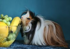 Yeah, she wants some little fur ball... Not quite yet, but man, this pic reminds me of MY long haired guinea pig!!