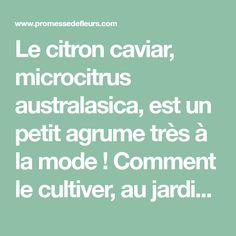 Le citron caviar, microcitrus australasica, est un petit agrume très à la mode ! Comment le cultiver, au jardin ou en pot. Quand récolter ses fruits et les utiliser ? On vous dit tout !