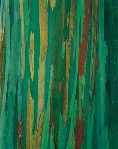 Painted bark eucalyptus, the Hana Coast, Island of Maui, Hawaii, by William Neill
