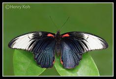 Life History of the Great Mormon ( Papilio memnon agenor ) Butterfly Biodata: Genus: Papilio Linnaeus, 1758 Species: memnon Linnaeu. Moth Species, Butterfly Species, Beautiful Butterflies, Singapore, History, Pets, Life, Animals, Historia