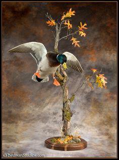 Mallard coming in during early duck season