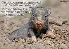 there are many complicated ethical dilemmas in life; not exploiting the vulnerable should not be one of them; #vegan
