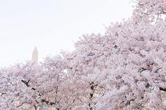 Washington DC Cherry Blossom Photography by CharmedByPrintShop