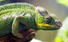 Chameleon Lizard Close-Up HD Wallpaper