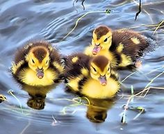 Animals in Homosassa, United States (three baby muscovy duck take pond right ducks) - a photo by TerryDavey Luv A Duck, Duck Duck, Nature Animals, Baby Animals, Muscovy Duck, Duck House, Baby Ducks, Fauna, Livestock