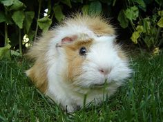 """Abyssinian Guinea Pig... looks just like mine Guinea Pig """"Pisco""""... soon I will upload pictures of him and his brother """"Sour""""."""