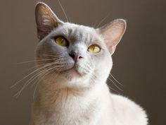 Burma-Katze: Eine verspielte Orientalin - Seite 5