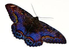 Black witch moth, Ascalapha odorata. Photographed at Marshall's Pen, Jamaica.