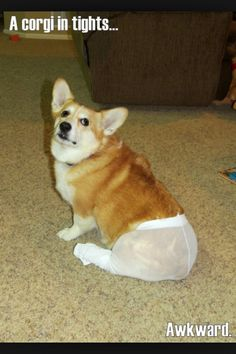 Corgi in tights