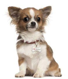 Image Result For Haircuts For Long Hair Chihuahuasa