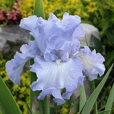 TB Iris Absolute Treasure - Tasco 06