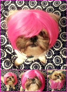 My sweet Shih Tzu Genevieve loves her P!nk wig :)