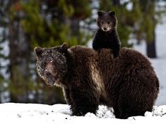 """I can see much better from up here."" Grizzly and cub via National Geographic - gorgeous!"