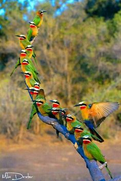 White-fronted bee-eater(merops bullockoides)
