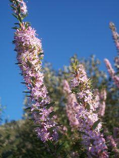 Agathosma ovata, a fragrant bee loving Fynbos species. Business Design, Landscape Design, Landscaping, Bee, Garden, Plants, Garten, Gardening, Plant